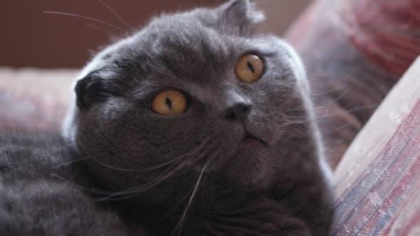 British Cat With Big Eyes