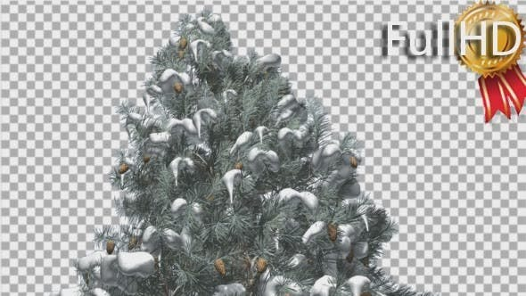 Thumbnail for Blue Spruce Snow on a Branches Cones Winter