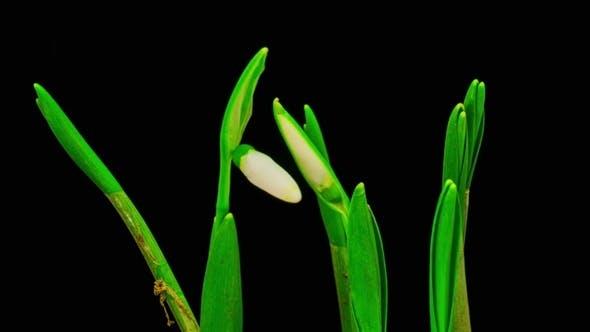 Thumbnail for Soft White Snowdrops Blossom.