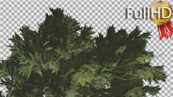 Thumbnail for Douglas Fir Top of Tree Crown Branches on a Top