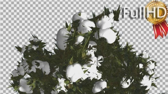 Thumbnail for Douglas Fir Top of Crown Snow on a Top Tall Tree