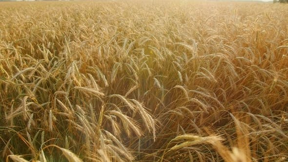 Thumbnail for Golden Wheat Field With Sun Rays. Can Be Used For Agriculture