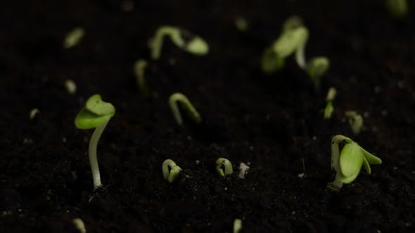 Thumbnail for Germinating Seeds