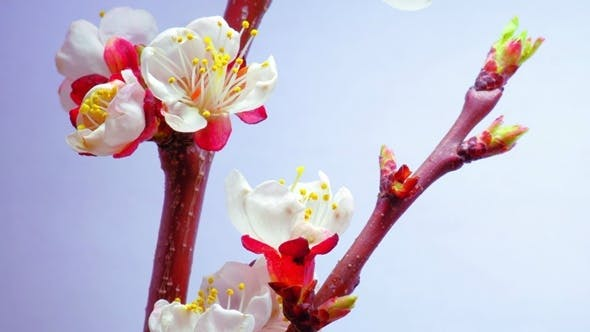 Thumbnail for A Plum Flowers Blossoms