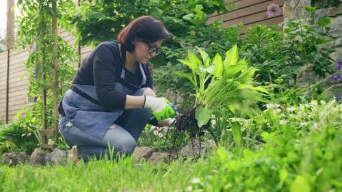 Woman Gardener in Gloves with Gardening Tools Dividing Bush of Hosta Plant in 2 Parts