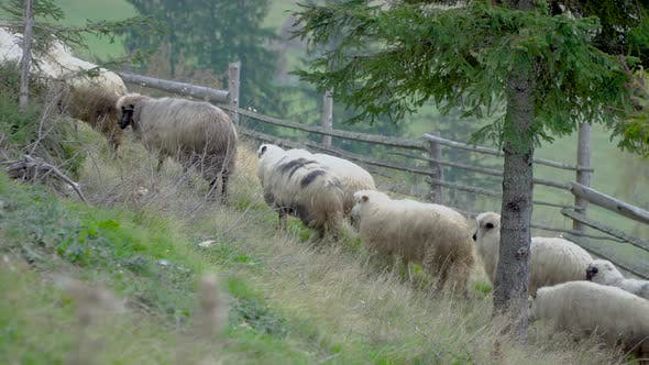 Thumbnail for Sheep Go To Pasture