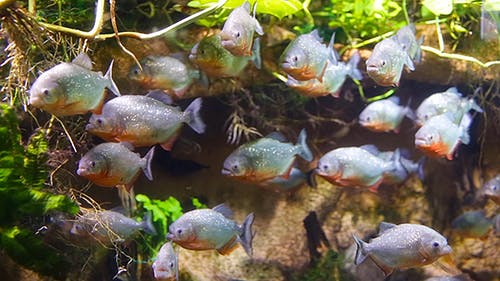 Piranha Colossoma Macropomum