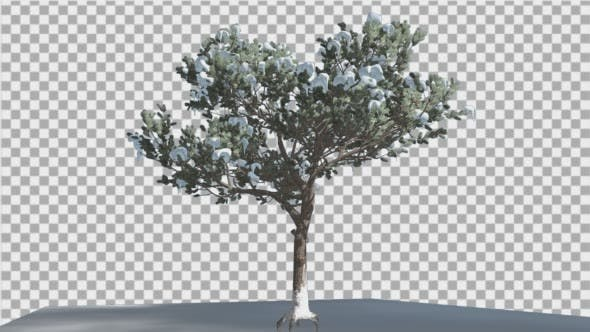 Italian Stone Pine Thin Tree in a Ground