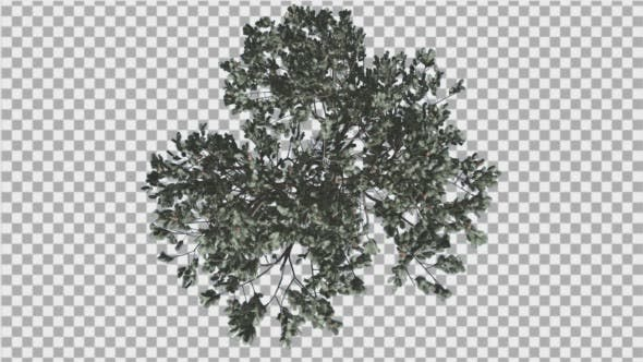 Cover Image for Italian Stone Pine Crown Top Down Winter