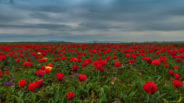 Cover Image for Clouds Over a Field Of Red Tulips