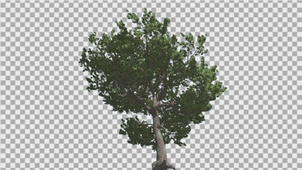 Thumbnail for Italian Stone Pine Green Crown in Summer