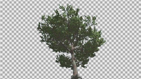 Italian Stone Pine Green Crown in Summer