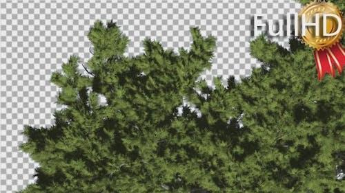 Monterey Cypress Crown Top Down Coniferous