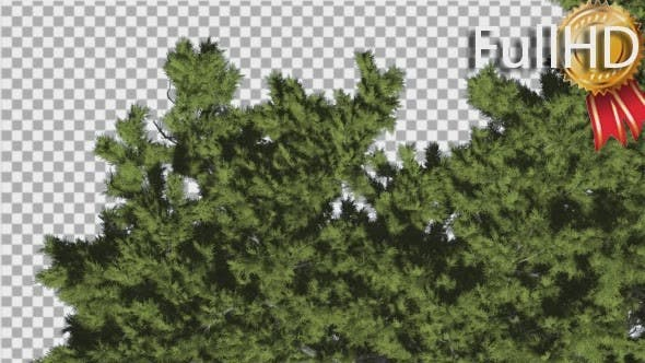 Thumbnail for Monterey Cypress Crown Top Down Coniferous