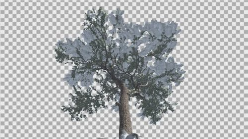 Italian Stone Pine Snow on a Branches Down Up