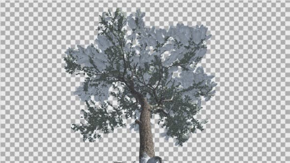Thumbnail for Italian Stone Pine Snow on a Branches Down Up