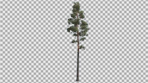 Scots Pine Pinus Sylvestris Coniferous Evergreen