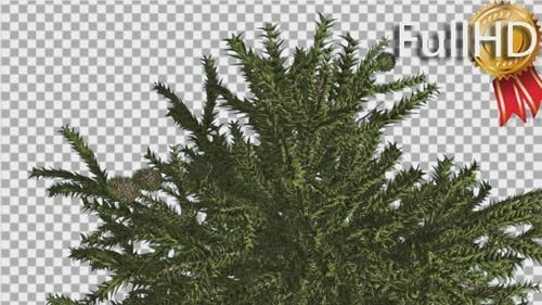 Monkey Puzzle Top of Tree Cones Coniferous