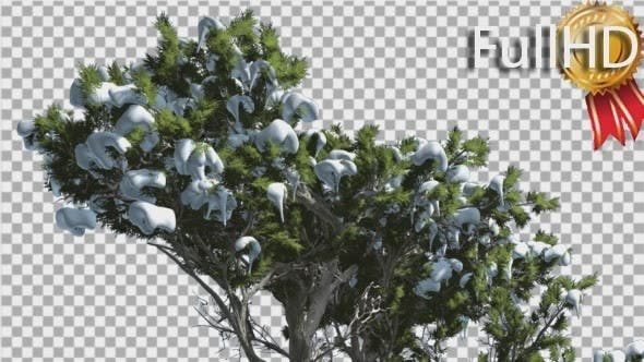 Monterey Cypress Snow on a Top of Tree Coniferous