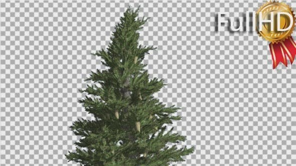Thumbnail for Norway Spruce Picea Abies with Cones Coniferous