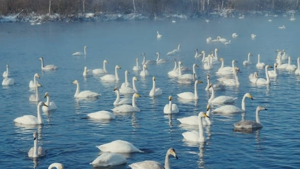 Thumbnail for Swan-familiy In Winter On The Lake