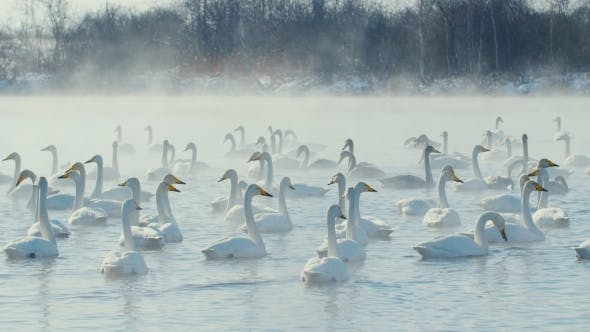 Thumbnail for Swan-Family In Winter On The Lake