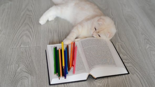 Thumbnail for Beige Scottish Fold Kitten Playing With Pencils And Books