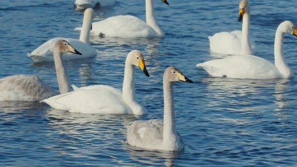 Cover Image for Swan Familiy In Winter On The Lake