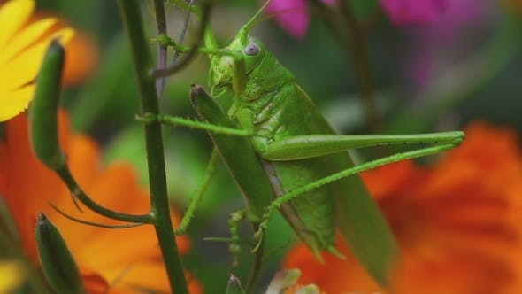 Thumbnail for Green Grasshopper On Aquilegia