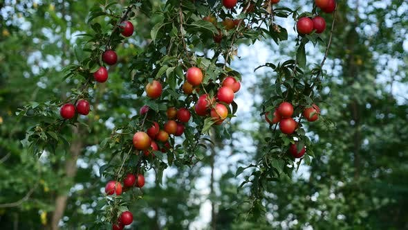Thumbnail for Prunus salicina common plum fresh food on tree branch 4K 2160p 30fps UltraHD footage - Prunus domest