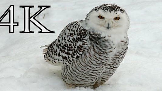 Thumbnail for Arctic Owl