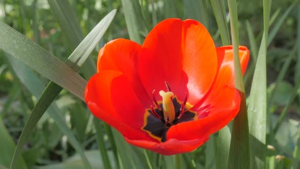 Thumbnail for Lot of  red Tulips in the garden with green natural background 4K 2160p 30fps UltraHD footage - Tuli