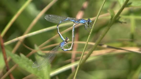 Thumbnail for Damselfly Adult Pair Mating Sex Reproduction Copulation in Summer