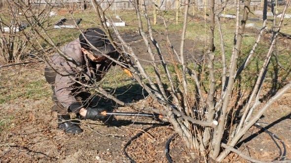 Thumbnail for Senior Elderly Man Gardener Prunes Bushes Twigs