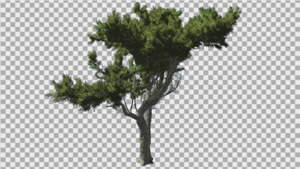 Monterey Cypress Bright Green Branchy Crown