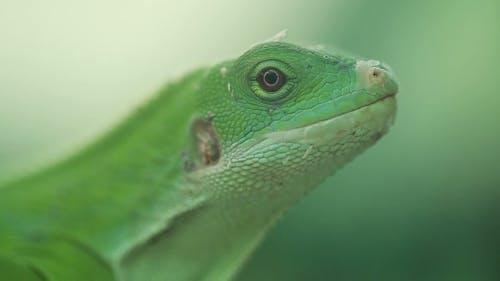 A Small Green Lizard. Iguana .