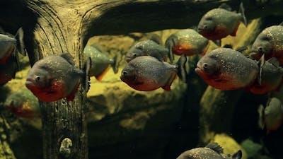 Amazon Predatory Piranha Fish