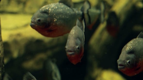 Amazon Predatory Piranha Fish