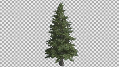 Norway Spruce Picea Abies Branchy Tree Coniferous
