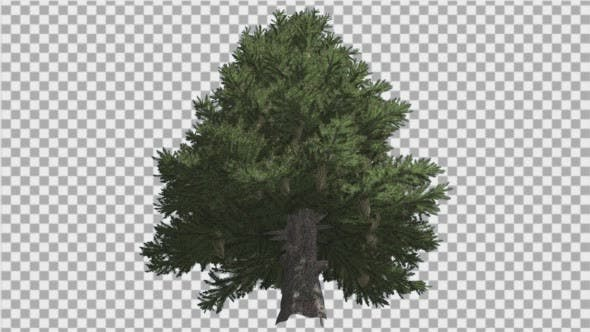 Thumbnail for Norway Spruce Picea Abies Down Up Tall Branchy