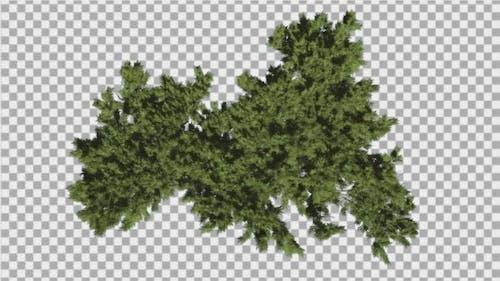 Monterey Cypress Bright Green Crown Top Down