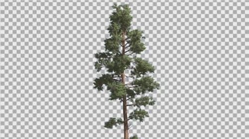Scots Pine Blue-Green Leaves Coniferous Evergreen