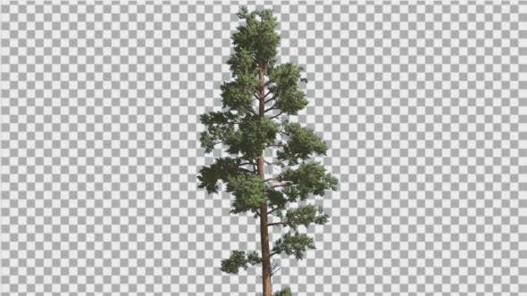 Thumbnail for Scots Pine Blue-Green Leaves Coniferous Evergreen