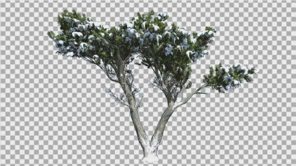 Thumbnail for Monterey Cypress verdoppelt Stamm Schnee auf einer Krone