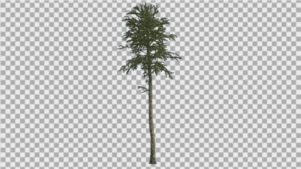 Thumbnail for Monkey Puzzle Thin Tall Tree Branches on a Top