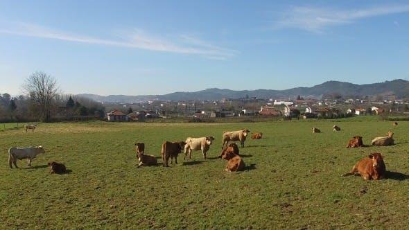Thumbnail for 4K Cows on Farm