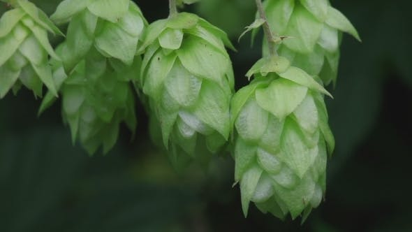 Cover Image for Ripe Hop Cones In The Hop Garden