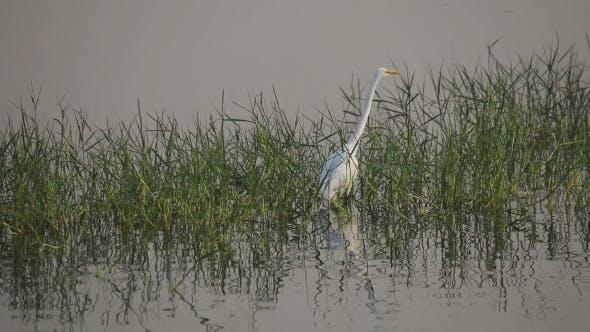 Cover Image for White Heron On a Man Sagar Lake