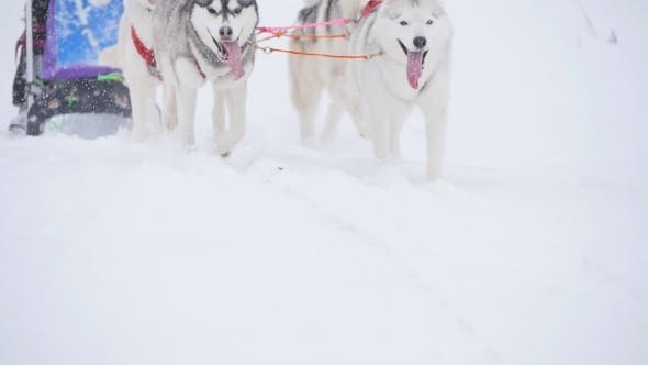 Thumbnail for Musher Hiding Behind Sleigh At Sled Dog Race