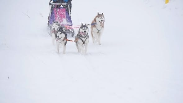 Thumbnail for Musher Hiding Behind Sleigh At Sled Dog Race In